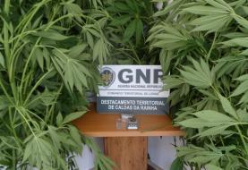 Oeste: GNR deteve quatro pessoas por tráfico e cultivo de droga no concelho das Caldas da Rainha