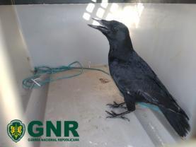Oeste: GNR recupera aves protegidas em cativeiro ilegal e identifica homem pelo delito