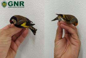 Oeste: GNR identificou dois suspeitos por cativeiro ilegal de aves