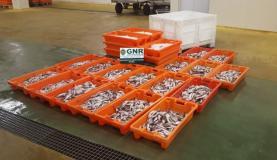 GNR apreende no Porto de Peniche 300 quilos de peixe capturado com tamanho ilegal para venda