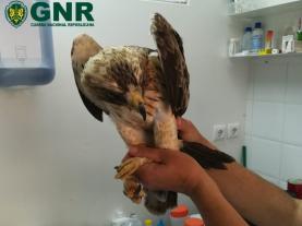 Torres Vedras: Núcleo de Protecção Ambiental da GNR resgatou águia calçada