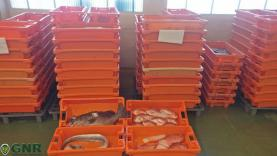 Peniche: GNR apreende 300 quilos de pescado capturado ilegalmente