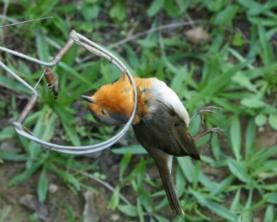 SPEA lança petição que visa fortalecer combate à captura ilegal de aves