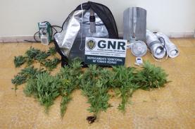 Torres Vedras: GNR desmantela duas estufas de cannabis