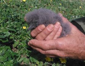 Roque-de-castro nasceu na Berlenga: primeira cria de ave ameaçada faz da ilha um caso de sucesso